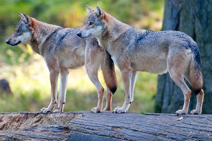 Wölfe In Thüringen