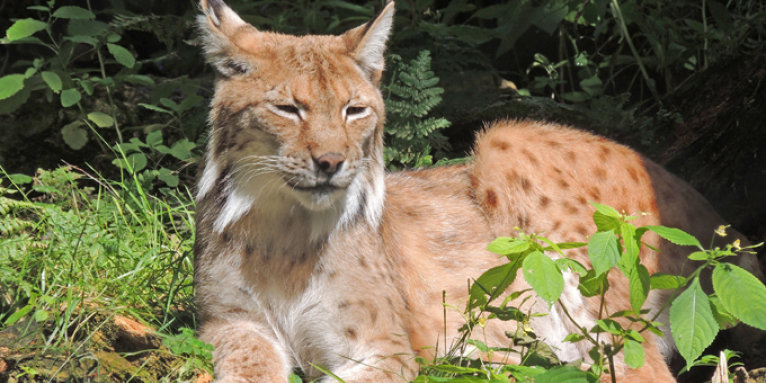 Luchs - Foto: Silvester Tamás